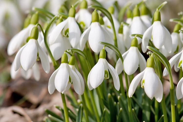 Snowdrop-plants.jpg#asset:1782